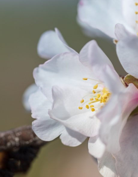 flower-of-the-almond-tree-4955172_1920